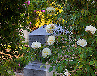'Phil Edinger Noisette' - white flowering old antique heirloom rose in Sacramento Old City Cemetery