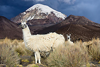 Llamas in Sajama National Park, with Volcan Sajama - the highest peak in Bolivia at 21,463 feet above sea level - in the background.