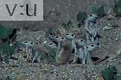 Round Tailed Ground Squirrel (Spermophilus terticaudus) Santa Catalin Mountains, Tucson, Arizona
