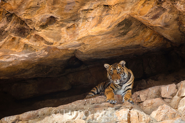 India, Rajasthan, Ranthambhore National Park, 9 months old Bengal tiger cub resting in cool cave during hot afternoon