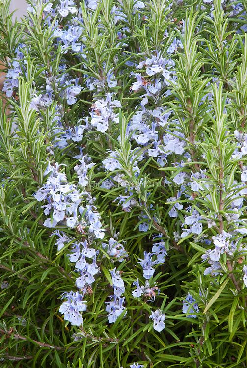 Rosemary Blue Spires essential oil herb Rosmarinus officinalis in bloom