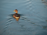 A mallard swims in the summer waters as the sun's rays rake across its head and body
