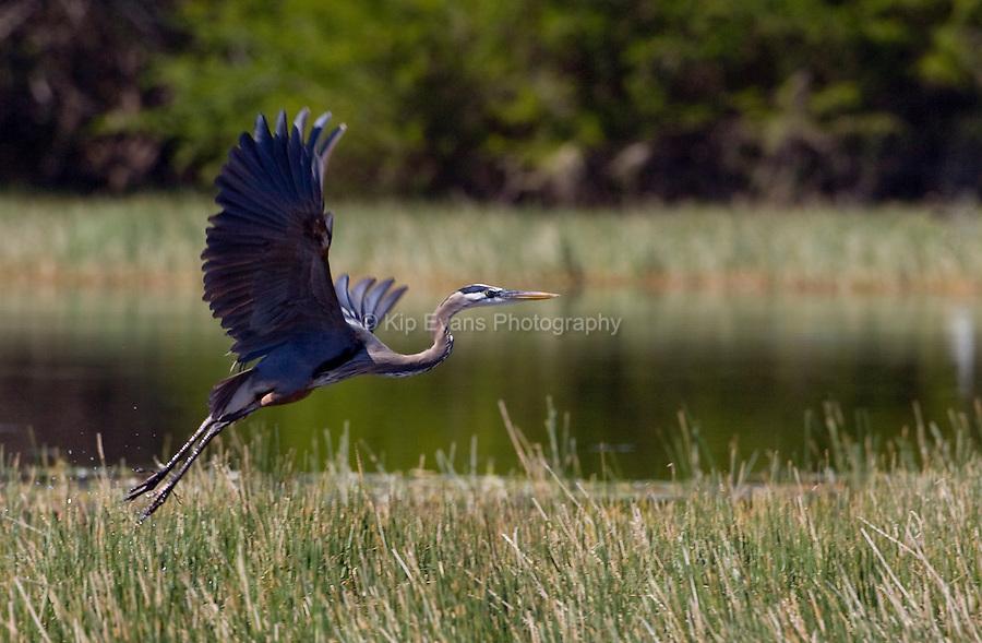 A great blue heron (Ardea herodias) takes off from a salt marsh.