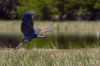 A great blue heron (Ardea herodias) takes off from a salt marsh.