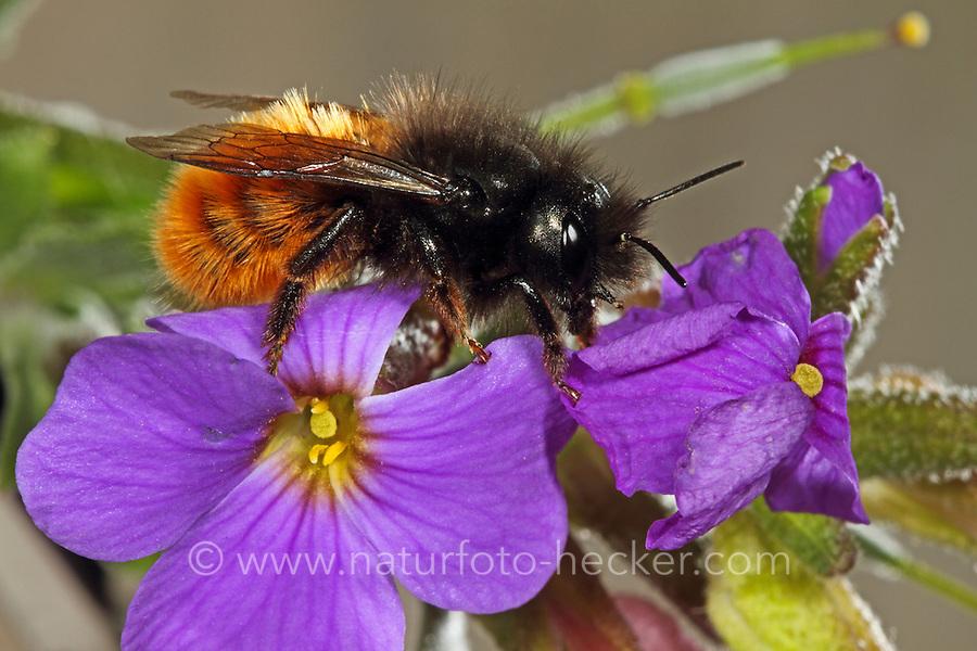 Gehörnte Mauerbiene, Osmia cornuta, European Orchard Bee, hornfaced bee, Mason bee, mason bees