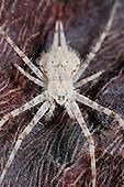 Two-tailed Spider (Hersilia wraniki) on a tree trunk, Socotra, Yemen.