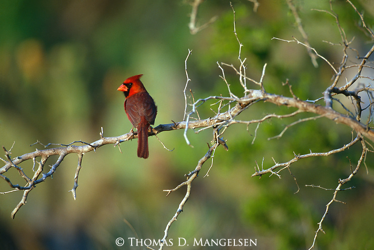A male northern cardinal perches on a branch in South Texas.