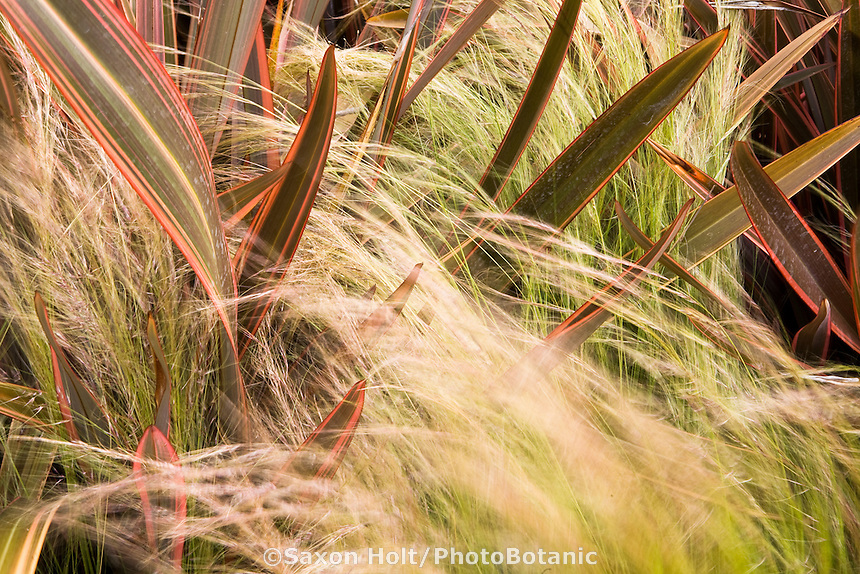 Mexican feather grass (Nassella tenuissima) flowing through New Zealand Flax, Phormium 'Guardsman' (spike, lance foliage leaves) in California garden