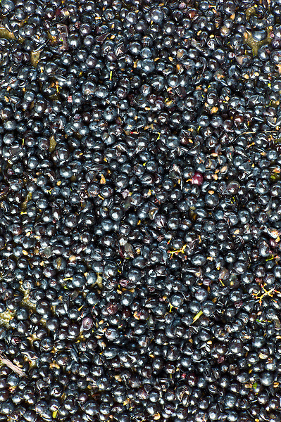 Merlot grapes harvested at vendange at Chateau Fontcaille Bellevue in Bordeaux wine region of France