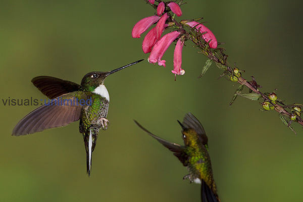 Collared Inca Hummingbirds (Coeligena torquata) hovering and feeding at red tubular flowers, Guango Lodge, Ecuador.