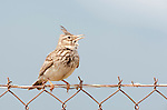 Crested Lark, Galerida cristata, Lesvos,  Greece, perched on fence , lesbos