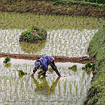 """Woman picking rice in paddy along the highway between Hanoi and Ha Long Bay. The rice in the north is less lush and plentiful than in mid-country and the south. This print was selected for the Newton Open Studios """"Invitational"""" showcasing work of artists who previously received top juror awards."""