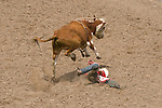A young cowboy hits the dirt after getting thrown from a wild cow concluding his ride at the Jordan Valley Big Loop Rodeo, Ore..