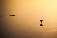 A moment in time along the shore at San Leandro Marina Park.  Left, a swimming duck creates the V wake, while an egret flies in from the right.  Both in silhouette and both reflected on a field of golden light