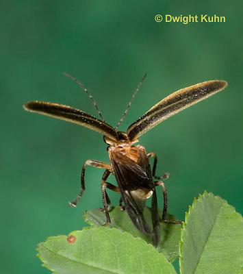 1C24-528z  Firefly Adult - Lightning Bug flying from leaf - Photuris spp.