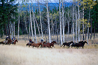 Wild Horse Drive Roundup at Douglas Lake Ranch near Quilchena, Thompson Okanagan Region, BC, British Columbia Canada, Autumn / Fall