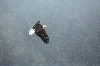 Bald eagle in flight during snowstorm