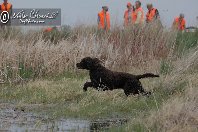 American Water Spaniel at a field trial Shopping cart has 3 Tabs:<br /> <br /> 1) Rights-Managed downloads for Commercial Use<br /> <br /> 2) Print sizes from wallet to 20x30<br /> <br /> 3) Merchandise items like T-shirts and refrigerator magnets