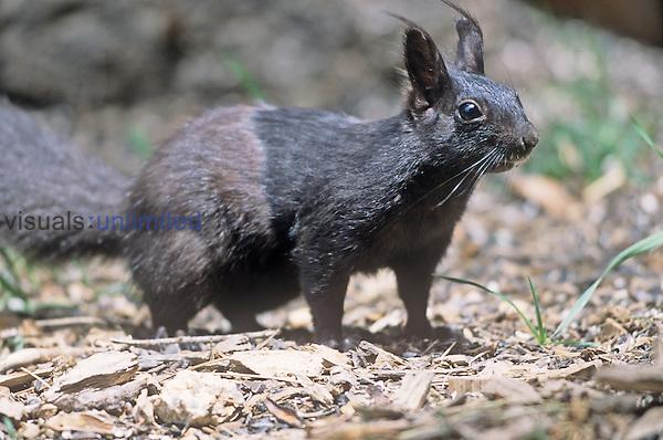 Abert's or Tassel-eared Squirrel (Sciurus aberti), black phase, Southwestern USA....