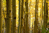 &quot;Autumn Aspens 2&quot;- Photographed in the Tahoe Donner area of Truckee, CA, near the Equestrian Center.<br />