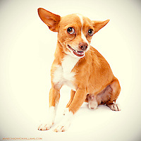 Adorable tan and white chihuahua photo.