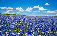 Endless bluebonnets in the Texas Hill Country with a nice big blue sky.