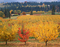 Columbia River Gorge N.S.A. Hood River Co., Oregon<br /> Fruit orchard (Bartlett pears) in bright fall color with farm ridges of the Hood River Valley in the distance