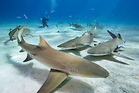 lemon sharks, Negaprion brevirostris, and woman scuba diver, Grand Bahama, Bahamas, Caribbean Sea, Atlantic Ocean, model released