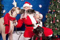 Dogs are photographed with Santa at a fundraiser for Dogs Deserve Better at Pet Pros in Redmond, WA on December 12, 2010. (photo by Karen Ducey)Oscar, Zoe, and Lola (not sure who is who) are photographed with Santa at a fundraiser for Dogs Deserve Better at Pet Pros in Redmond, WA on December 12, 2010. (photo by Karen Ducey)