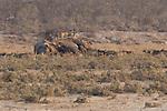 Jackals on elephant carcass, Ongava Reserve, Namibia