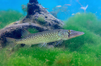 Chain Pickerel, Underwater