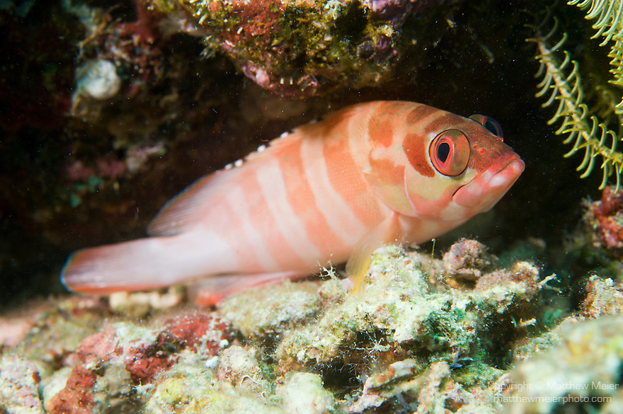 Anilao, Philippines; a striped color variation of a Blacktip Grouper (Epinephelus fasciatus) fish, perched on the coral reef, the black tips on the dorsal spines are the source of the common name