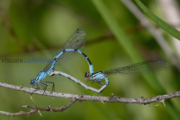 Damselfly (Enallagma civili) shown in a mating wheel, male at the front holding female by the neck.
