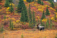 Bull moose, autumn tundra and boreal forest, Denali National Park, Alaska