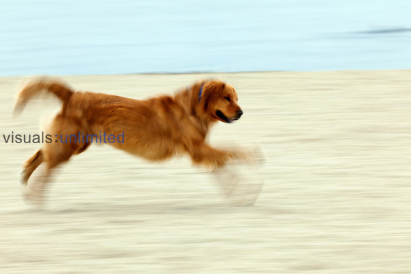 Golden Retriever running on beach.