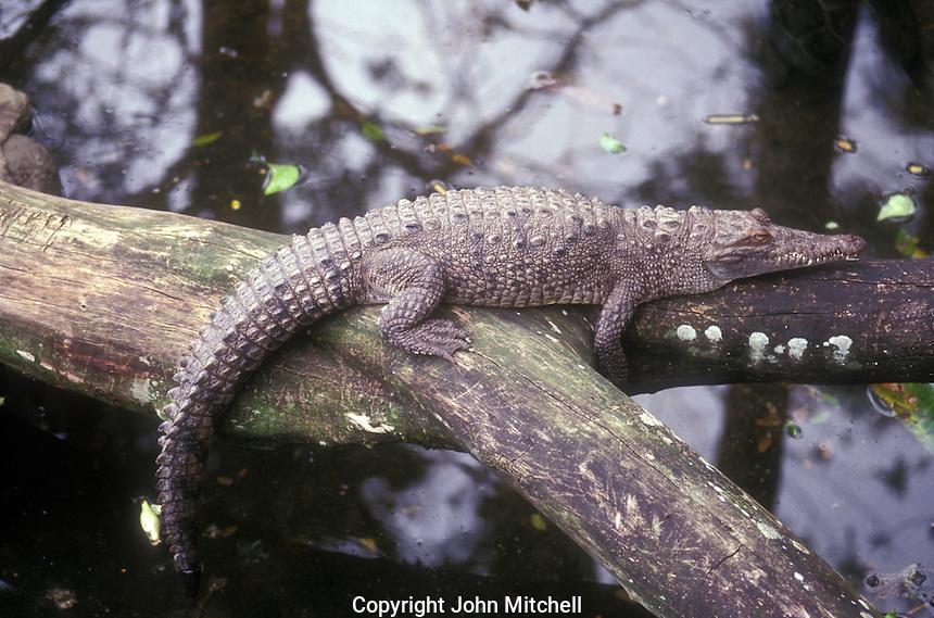 Young crocodile (crocodylus acutas) in Costa Rica, Central America