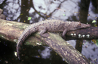Young crocodile (crocodylus acutas) in Costa Rica, Central America