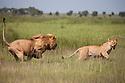 Tanzania, Ngorongoro Conservation Area, Ndutu, male lion chasing lioness
