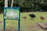 The Southern Cassowary male with his chicks - possibly a year old crossing a cassowary interpretive signage. The Southern Cassowary, also known as the Double-wattled Cassowary (family Casuariidae), is native to the tropical forests of New Guinea, nearby islands and north eastern Australia. The name cassowary comes from the Malay name kesuari. The cassowary is the largest avian frugivore in the world. Cassowaries are striking in appearance, with a tall brown casque (helmet) on top of their head, a vibrant blue and purple neck, red wattles and glossy black plumage. The purpose of the casque is unknown and hypotheses include that it indicates dominance, protects the bird&rsquo;s head when running through the forests, or aids cassowaries in hearing the low vibrating sounds made by other cassowaries. They possess small vestigial &lsquo;wings&rsquo; with 5-6 bare quills and a long claw at the tip of the wing.<br /> Southern cassowaries can grow to a height of 2 metres, with males weighing up to 55kg and females up to 76kg. Each leg has three claws, with the medial claw reaching up to 120mm in length! Cassowary chicks differ in appearance, with a striped brown and cream pattern. After 3-6 months, the stripes fade to the brown sub-adult plumage.  This is retained until 12-18 months of age after which the bird begins to take on adult characteristics. Maturity is reached at 3.5 years of age for females and 2.5 years for males.