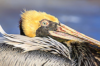 This Brown Pelican was sitting on the dock at Wanchese, a working fishing village on the Outer Banks. The yellow head is usualy brown when its not in breading plumage.