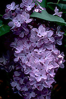 Syringa Descaine similar to 'Descanso hybrid Lavender Lady' lilac in purple lavender bloom in spring, macro closeup