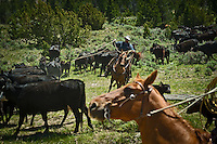 Mike Strong catches a calf during a cattle drive as they are driven to their summer pastures in the Centennial Valley of Southwestern Montana in June 2012.  The age of the open range is gone and the era of large cattle drives  over. Today, very few ranches drive their cattle with horses, instead moving them by truck. Now, spurred by growing consumer concern over meat's environmental impact and concerned about the long-term viability of their livelihood, a cohort of ranchers is trying to apply the understanding gleaned from the science of ecology to livestock management.