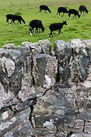 Viewed from across an old stone wall some of the island's black sheep grazing in a field