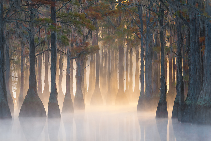 A corridor-like grove of pond cypress on a cold morning, as the rising sun illuminates the misty water.