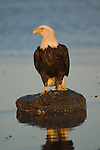 A bald eagle perches on a rock in Homer, Alaska.