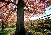 White oak tree, Querus albus, in fall New England along country fence, Vermont