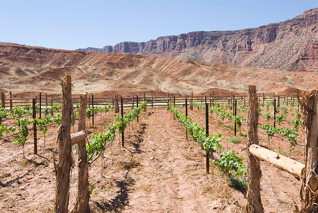 Newly planted Cabernet Sauvignon vines for Castle Creek Winery, grow near Moab, Utah
