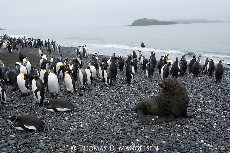 Antarctic fur seal and king penguins on Salisbury Plain in South Georgia.