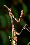 Praying Mantis, Empusa pennata, in striking position, Provence.France....