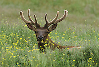 Elk, Wapiti (Cervus elaphus), bull in velvet, Yellowstone National Park, Wyoming, USA